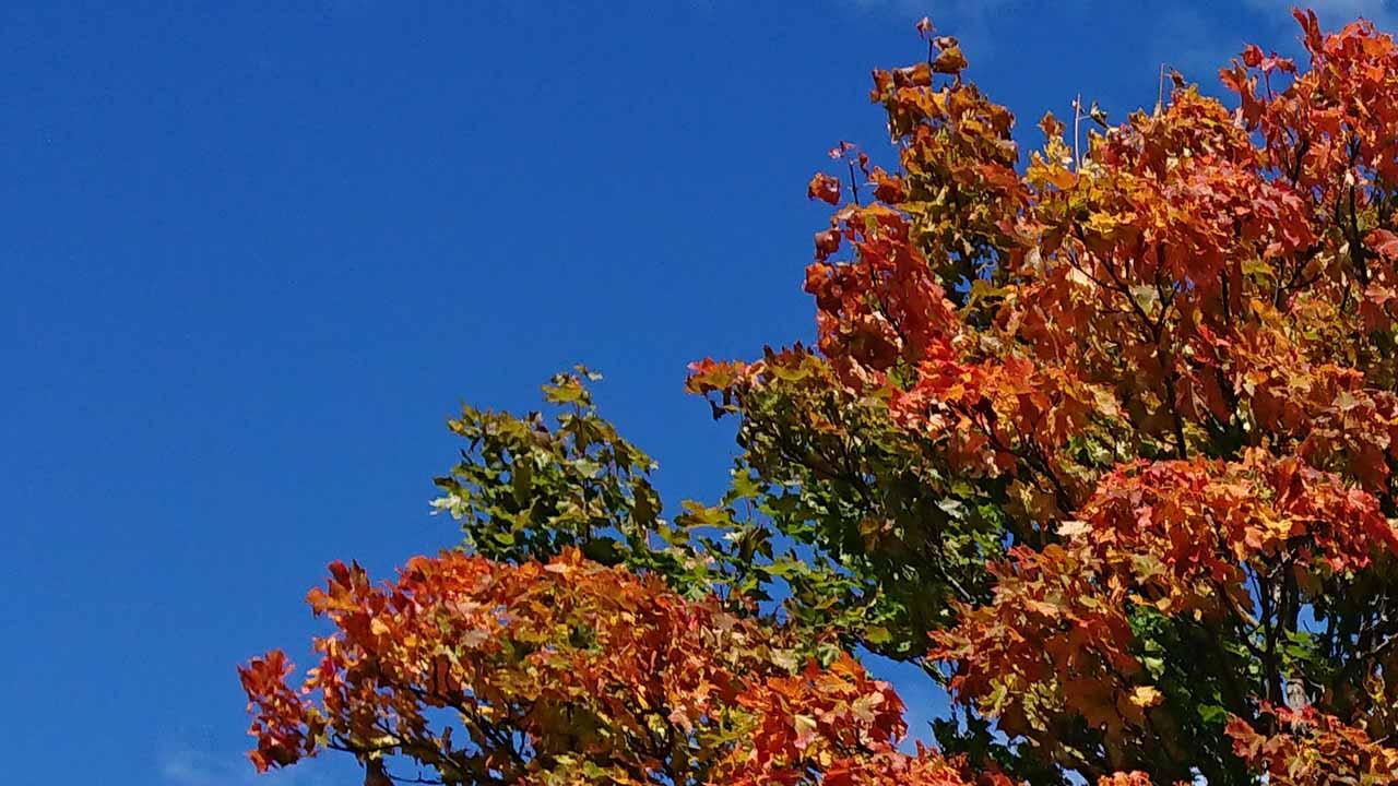 Vackert så det nästan gör ont när solens strålar smeker lönnlövens höstsymfoni av färger mot en klarblå himmel